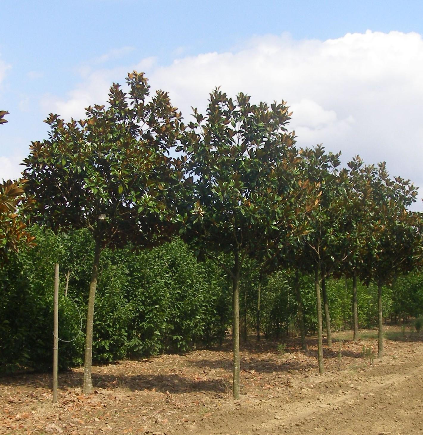 Arbres tige en pleine terre pepinieres ripoche Pays de la Loire