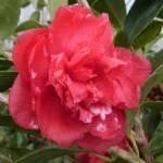 Végétaux d'ombre, de terre de Bruyère et Magnolias