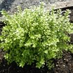 Arbustes Variés, de haie,de rocailles,…