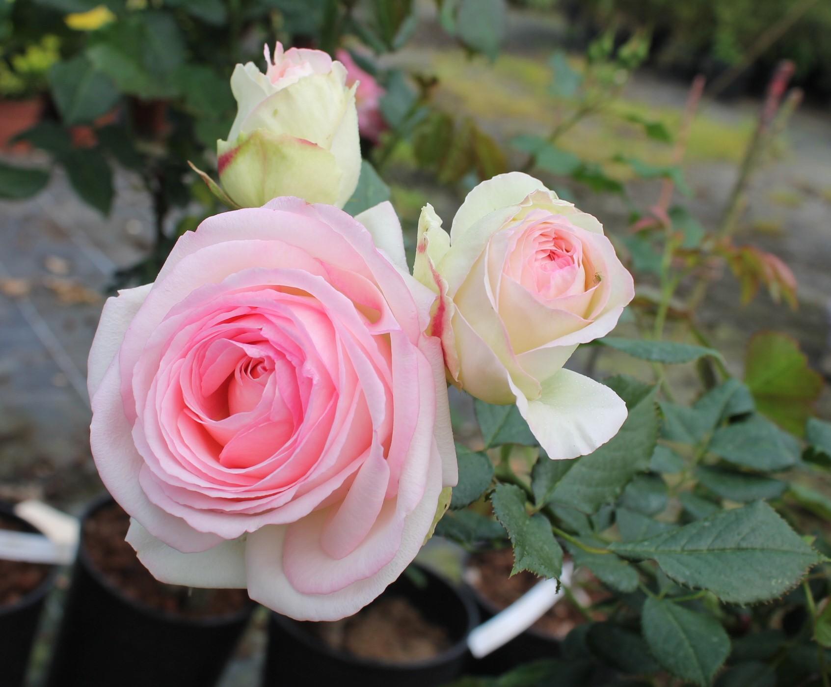 Des bouquets de roses …