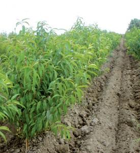 arbustes culture pleine terre pechers fruitiers