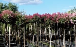 rosier culture pleine terre à la pépinière ripoche (44)