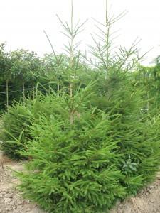 Picea excelsa 200-250