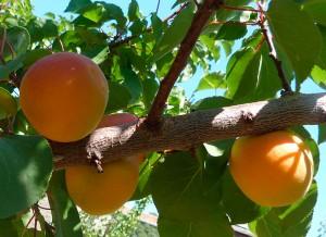 jardins gourmands abricotier pépiniere Nantes