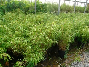 Bambou-Fargesia-rufa