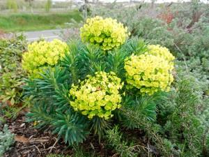 plantes Euphorbia-wulfenii