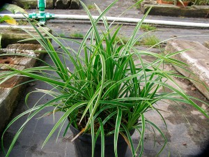 plante Gra-Carex
