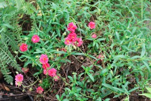 Helianthemum jardins tendance