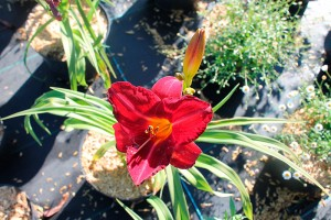 Hemerocallis jardins tendances