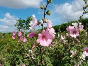 fleurs Lavatere jardins à l'anglaise, tendance pépinière près de nantes