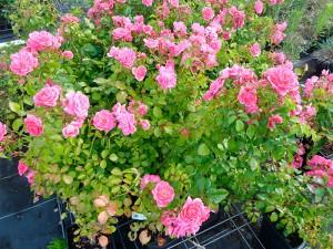 Rosier jardin à l'anglaise pépiniere ripoche
