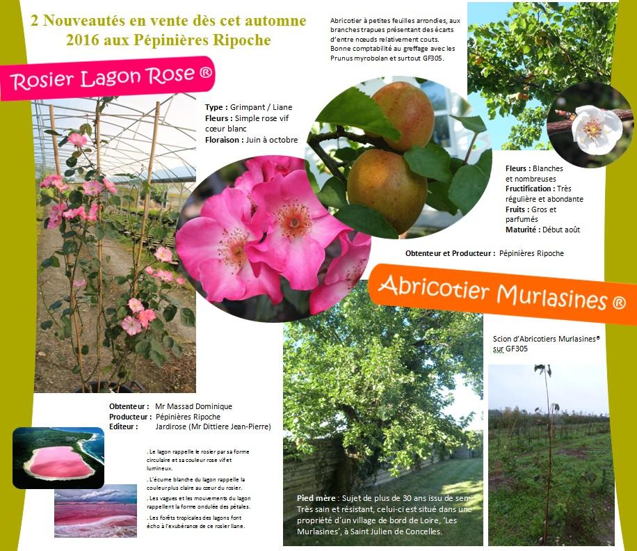 Rosier Lagon Rose et Abricotier Murlasines