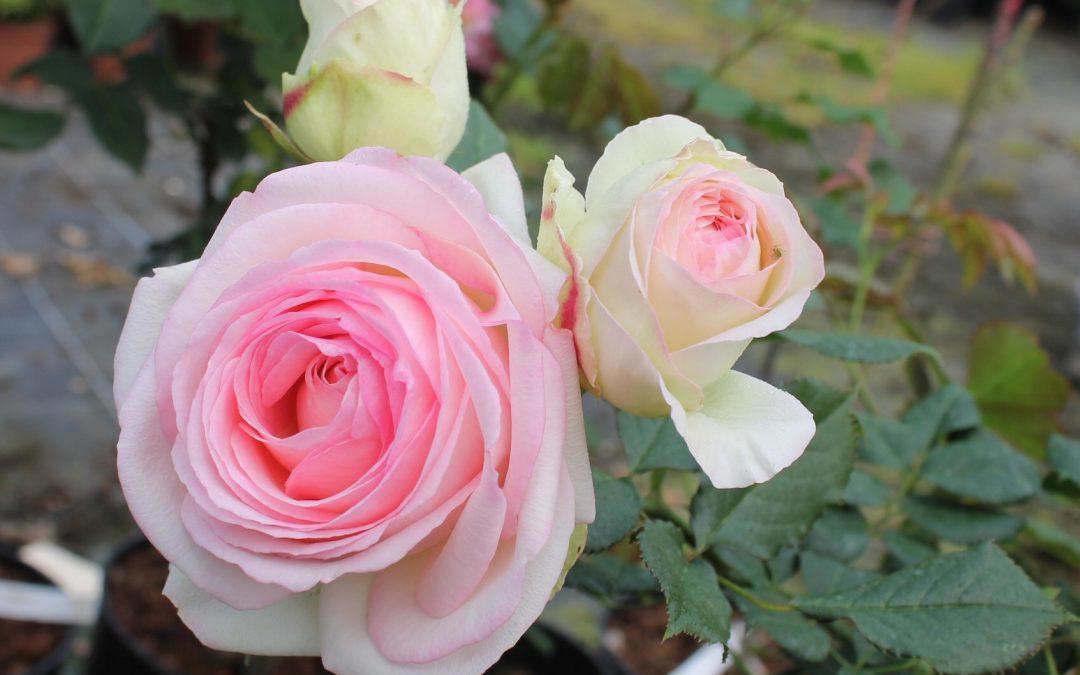 Des bouquets de roses … nos champs en fleurs