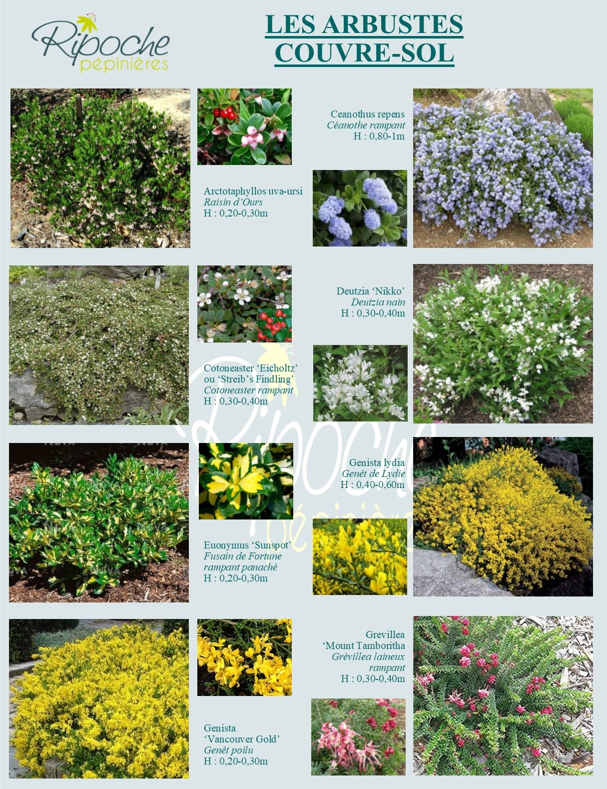 Arbustes couvre-sol1