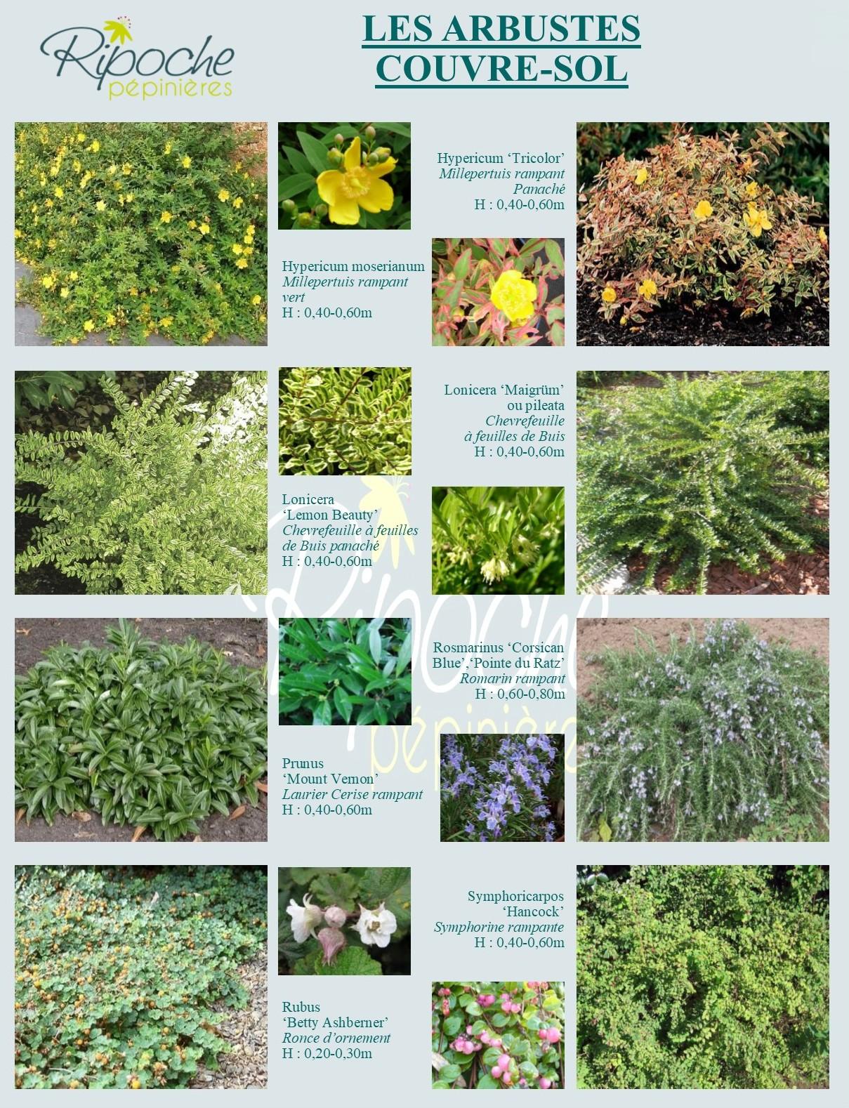 Arbustes couvre-sol2