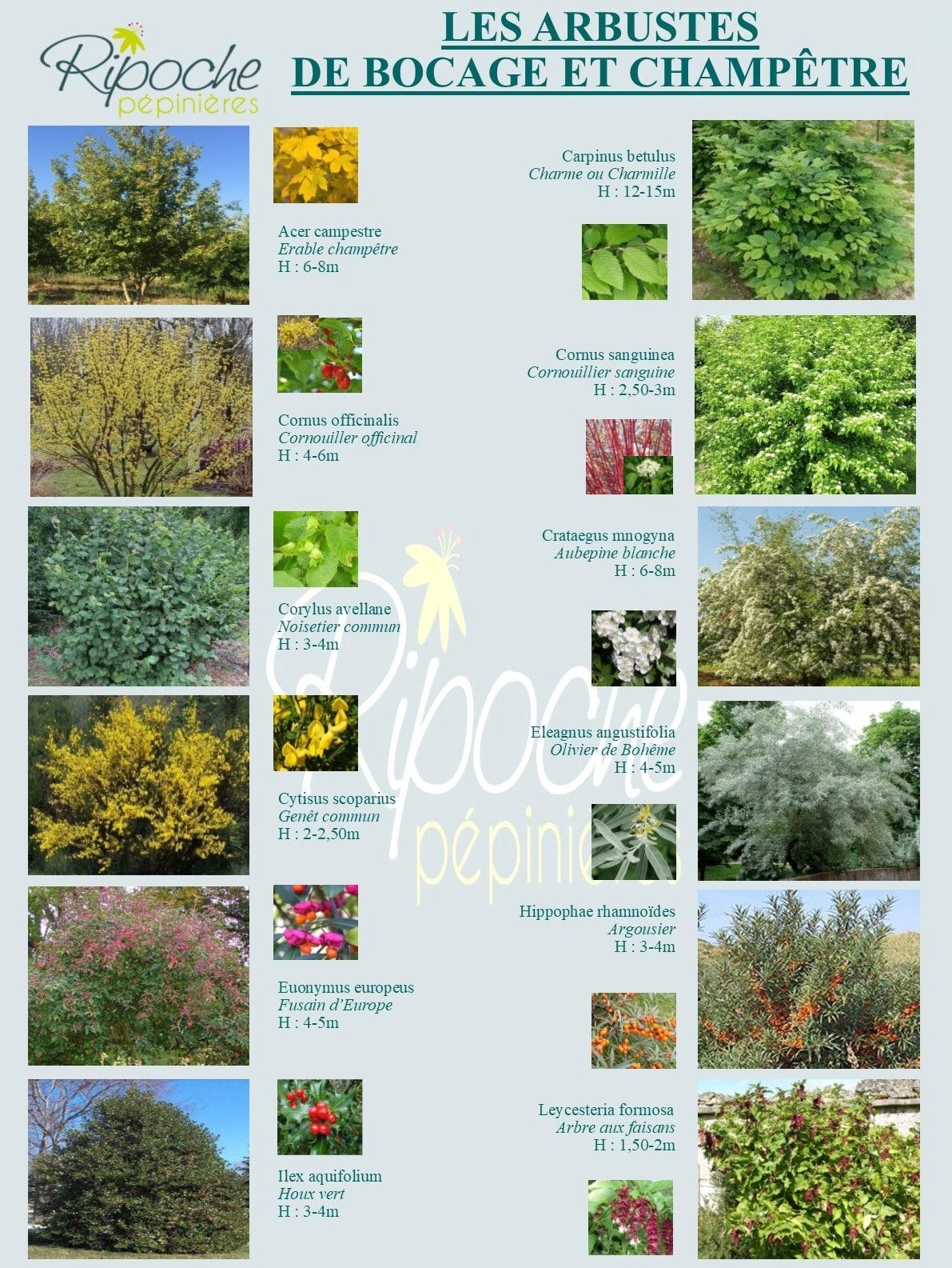 Arbustes de bocage et champêtres1