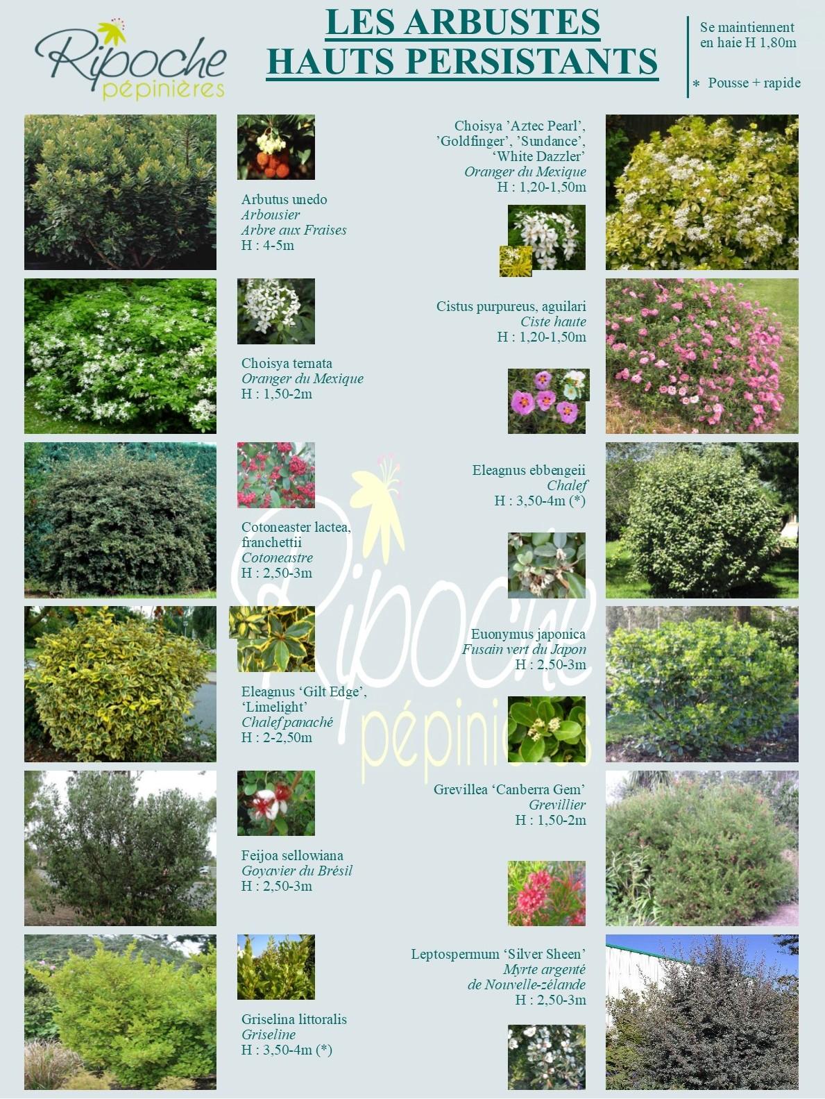 Arbustes hauts persistant1