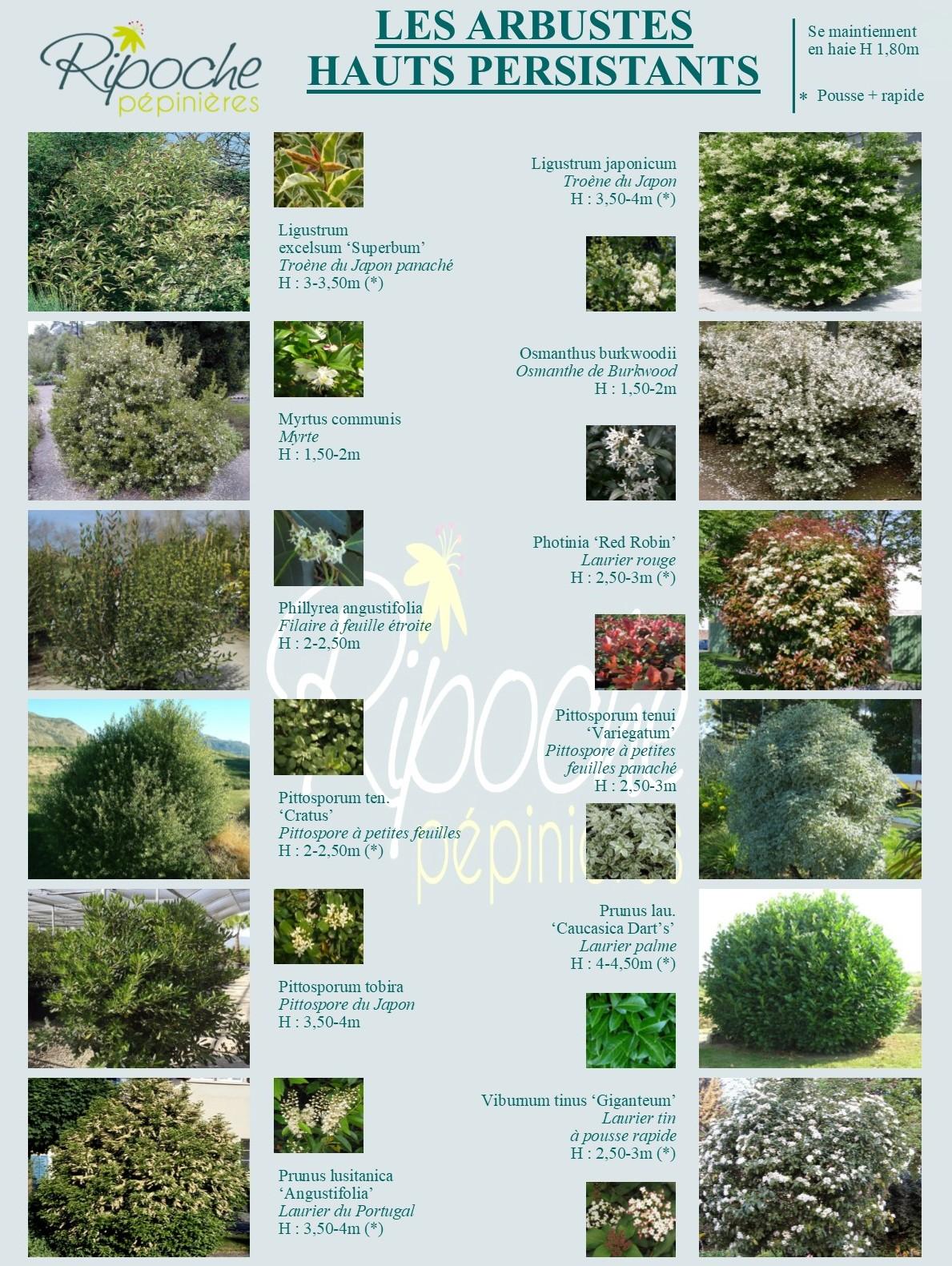 Arbustes hauts persistant2