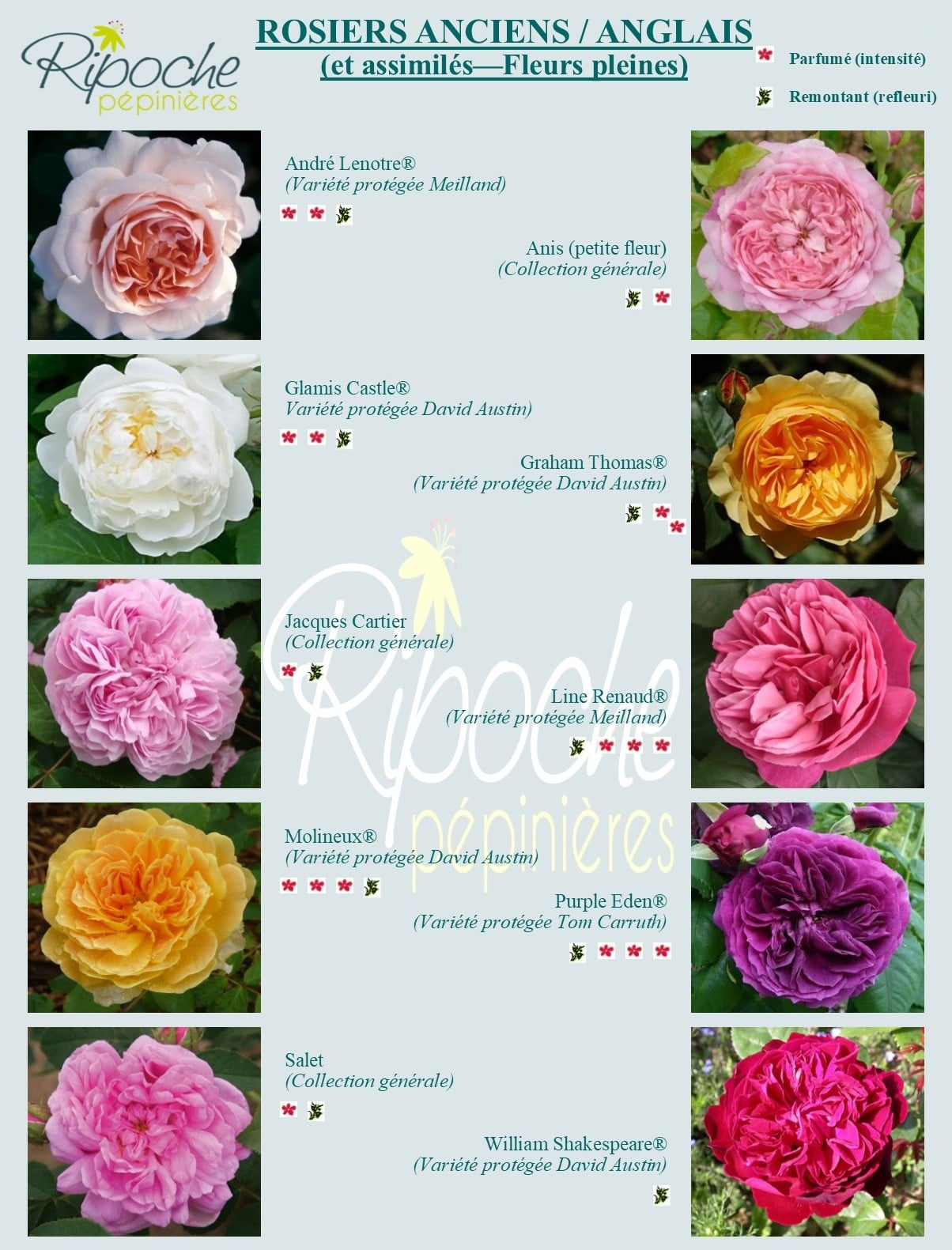 Rosiers anciens/anglais